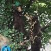 جنایت بزرگ زیست محیطی / اعدام دو خرس قهوه ای در مشکین شهر روستای مزرعه خلف+ عکس